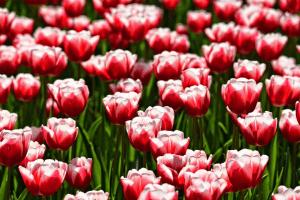 Tulipán James Parkinson